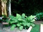 Ferns yes, hydrangeas no.