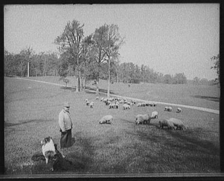 Sheep in the Long Meadow, circa 1900-1905